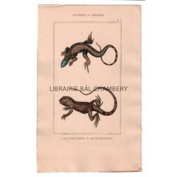 Gravure de Sauriens ou lézards, Pl 3 - 1Le Tupinambis - 2 Le Sourcilleux