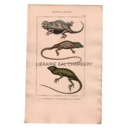 Gravure de Sauriens ou lézards, Pl 5 - 1Le Tapaye - 2 Le Marbré - 3 Le Roquet