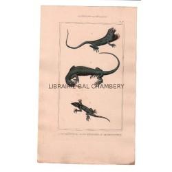 Gravure de Sauriens ou lézards, Pl 6 - 1Le Goîtreux - 2 Le Téguixin - 3 Le Sputateur