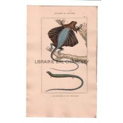 Gravure de Sauriens ou lézards, Pl 7 - 1Le Dragon - 2 Le Chalcide