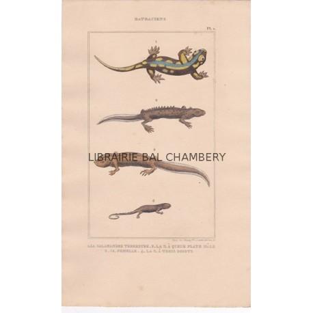 Gravure de Batraciens, Pl 1 - 1 La Salamandre terrestre - La S. à queue mâle - 3 Id. femelle - 4 La S. à trois doigts