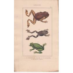 Gravure  de Batraciens, Pl 4 - 1 La Grenouille perlée - 2 La Galonnée - 3 La Raine verte