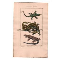 Gravure de Sauriens ou lézards, Pl 2 - 1Le Gavial - 2 Le Fouette-Queue - 3 La Dragonne