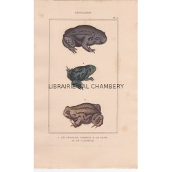 Gravure  de Batraciens, Pl 5 - 1 Le Crapaud commun - 2 Le Vert - 3 Le Calamite