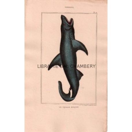 Gravure de Poissons, Pl 9 - 1 Le Squale Requin