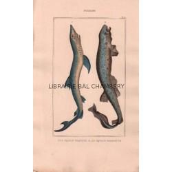 Gravure de Poissons, Pl 11 - 1 Le Squale glauque - Le Squale roussette
