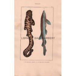 Gravure de Poissons, Pl 12 - 1 Le Squale barbu - Le Squale rocher