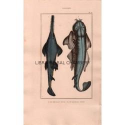 Gravure de Poissons, Pl 15 - 1 Le Squale scie- Le Squale ange
