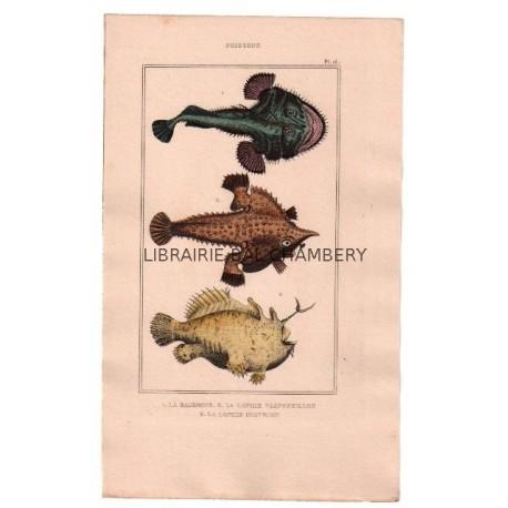 Gravure de Poissons, Pl 16 - 1 La Baudroie - 2 La Lophie vespertillon - 3 La Lophie histrion