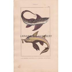 Gravure de Poissons, Pl 20 - 1 La Chimère arctique  - 2 La Chimère antarctique