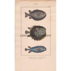 Gravure de Poissons, Pl 26 - 1 Diodon atinga - 2  Diodon orbe - 3  Diodon atinga variété