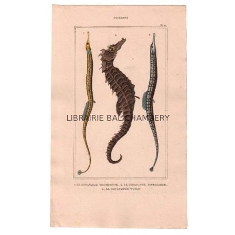 Gravure de Poissons, Pl 27 - 1 Le Syngnathe trompette - 2 Le Syngnathe hyppocampe - 3 Le Syngnathe tuyauu
