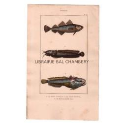 Gravure de Poissons, Pl 35 - 1 Le Gade capelan - 2 Le Gade mustel - 3 Le Batrachoïde tau