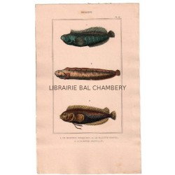 Gravure de Poissons, Pl 36 - 1 Le Blennie bosquien - 2 Le Blennie gunnel  - 3 Le Blennie pointillé