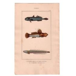 Gravure de Poissons, Pl 38 - 1 Le Gobie bosc - 2 Le Gobie plumier - 3 Le Gobioïde broussonnet
