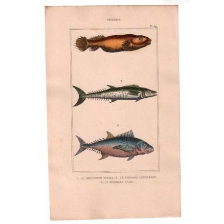 Gravure de Poissons, Pl 39 - 1 Le Gobiesoce testar - 2 Le Scombre commerson - 3 Le Scombre thon