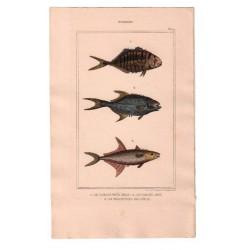 Gravure de Poissons, Pl 41 - 1 Le Caranx très beau - 2 Le Caranx amie - 3 Le Trachinote faucheur