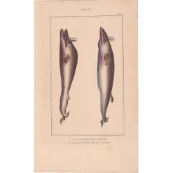 Gravure de Cétacés, Pl 2 - 1 La Baleinoptère jubarte - 2 La Baleinoptère museau pointu