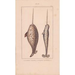 Gravure de Cétacés, Pl 3 - 1 Le Narwal vulgaire - 2 Le Narwal macrocéphale