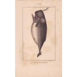 Gravure de Cétacés, Pl 4 - 1 Le Cachalot macrocéphale
