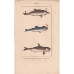 Gravure de Cétacés, Pl 5 - 1 Le Dauphin vulgaire - 2 Le Dauphin marsouin - 3 Le Dauphin orque
