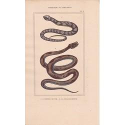 Gravure d'Ophidiens ou serpents, Pl 3 - 1 L'Hoemachate - 2 La Brasilienne