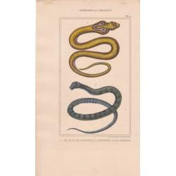 Gravure d'Ophidiens ou serpents, Pl 2 - 1 Le Naja ou serpent à lunettes - 2 Le Chayque