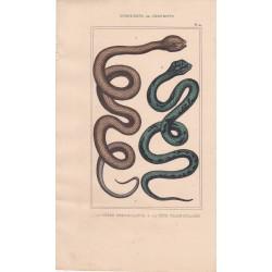 Gravure d'Ophidiens ou serpents, Pl 4 - 1 La Vipère fer de lance - 2 La Tête triangulaire