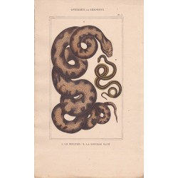 Gravure d'Ophidiens ou serpents, Pl 7 - 1 Le Molure - 2 La Double raie