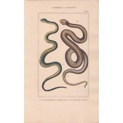 Gravure d'Ophidiens ou serpents, Pl 8 - 1 La Couleuvre commune - 2 La Quatre raies