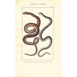 Gravure d'Ophidiens ou serpents, Pl 9 - 1 Le Serpent d'Esculape - 2 La Violette