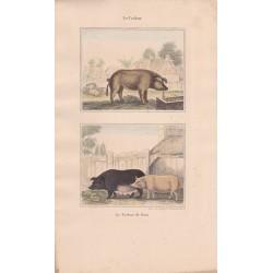 Gravure de Quadrupèdes, Pl  - 1 Le Cochon - 2 Le Cochon de Siam