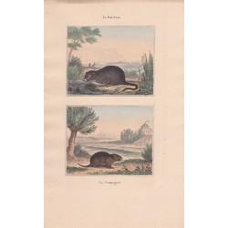 Gravure de Quadrupèdes, Pl  - 1 Le Rat d'eau - 2 Le Campagnol