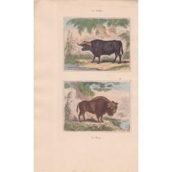 Gravure de Quadrupèdes, Pl  - 1 Le Buffle - 2 Le Bison