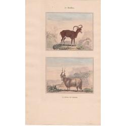 Gravure de Quadrupèdes, Pl  - 1 Le Mouflon - 2 Le Bélier de Valachie
