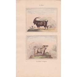 Gravure de Quadrupèdes, Pl  - 1 Le Bouc - 2 La Chèvre d'Angora