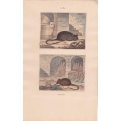 Gravure de Quadrupèdes, Pl  - 1 Le Rat - 2 La Souris