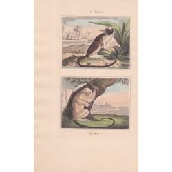 Gravure de Quadrupèdes, Pl  - 1 Le Pinche - 2 Le Mico