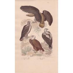 Gravure d'Oiseaux, Pl 1  - 1 Le Grand Aigle - 2 L'Aigle commun - 3 L'Aigle impérial - 4 Le Pigargue