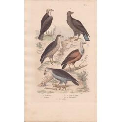 Gravure d'Oiseaux, Pl 2  - 1 Le Balbuzar- 2 L'Orfraie - 3 Le Jean le blanc - 4 Le Perenoptère - 5 Le Griffon