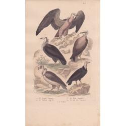 Gravure d'Oiseaux, Pl 3  - 1 Le Grand Vautour - 2 Le Vautour aigrette  - 3 Le Petit Vautour - 4 Le Roi des Vautours - 5 L'Urubu