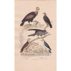 Gravure d'Oiseaux, Pl 4  - 1 Le Condor - 2 La Buse  - 3 Le Milan - 4 L'Oiseau St Martin - 5 La Bondrée