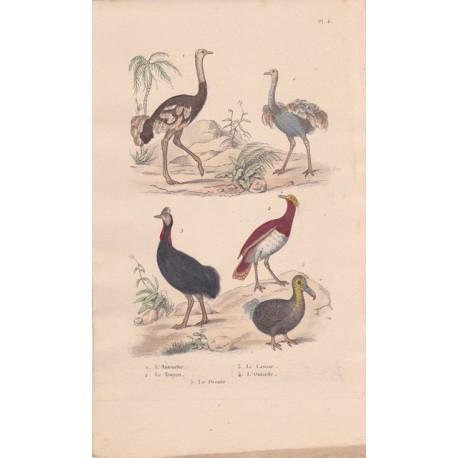 Gravure d'Oiseaux, Pl 8  - 1 L'Autruche - 2 Le Touyou - 3 Le Casoar - 4 L'Outarde - 5 Le Dronte
