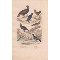 Gravure d'Oiseaux, Pl 10  - 1 Le Grand Coq de Bruyère - 2 Le Coq de Bruyère à queue fourchue - 3 La Gélinotte - 4 Le Ganga