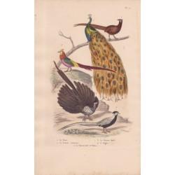Gravure d'Oiseaux, Pl 11  - 1 Le Paon - 2 Le Faisan commun - 3 Le Faisan doré - 4 L'Argus - 5 Le Faisan .......