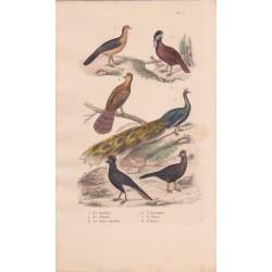 Gravure d'Oiseaux, Pl 12  - 1 Le Katraka - 2 Le Népaul - 3 Le paon Spicifère - 4 L'Epronnier - 5 Le Hocco - 6 L'Yacou