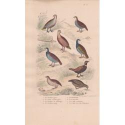 Gravure d'Oiseaux, Pl 13  - 1 La Perdrix ... - 5 La Bartavelle - 6 Le Francolin -7 La Caille - 8 La  Caille des ...- 6 L'Yacou