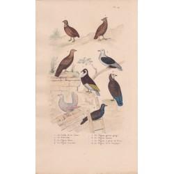 Gravure d'Oiseaux, Pl 14  - 1 La Caille de Chine - 2 Le Zénocolin - 3 Le Pigeon Bizet - 4 Le Pigeon Cravatte - 5 ...