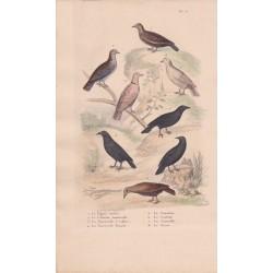 Gravure d'Oiseaux, Pl 15  - 1 Le Pigeon ramier - 2 La Colombe tourterelle - 3 La Tourterelle à collier - 5 Le Coracias -