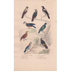Gravure d'Oiseaux, Pl 16  - 1 La Corneille mantelée - 2 Le Choucas - 3 La Pie - 4 Le Geai bleu - 5 Le Geai commun -...